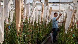 Technician Marty Christians bags Kernza breeding plants in the greenhouse to prevent random fertilization.